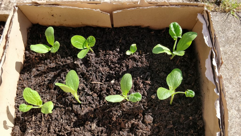 Courgettes transplanted into a cardboard box