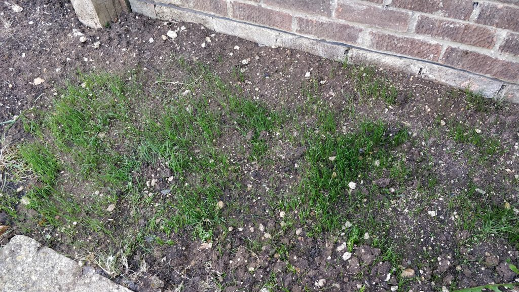Grass seed growing 18 May 2020