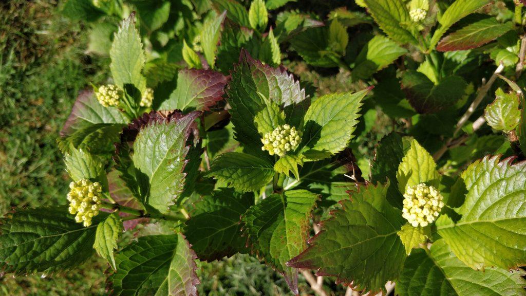 Hydrangea buds developing